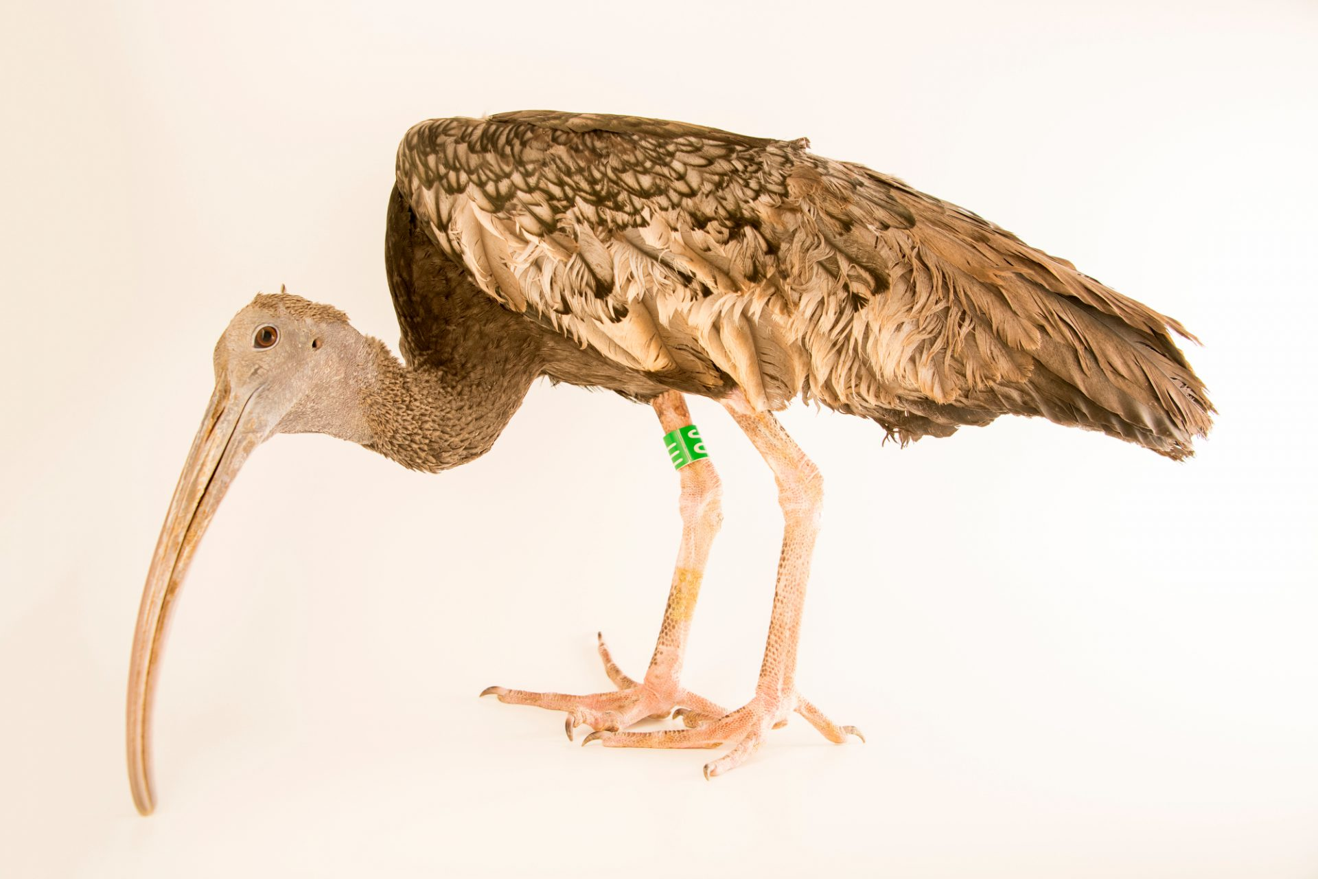 Photo: Critically endangered Giant Ibis (Thaumatibis gigantea) at the Angkor Centre for Conservation of Biodiversity (ACCB) in Siem Reap, Cambodia.