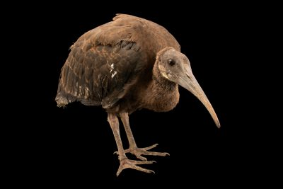 Photo: A critically endangered fledgling White-Shouldered Ibis (Pseudibis davisoni) at the Angkor Centre for Conservation of Biodiversity (ACCB) in Siem Reap, Cambodia.
