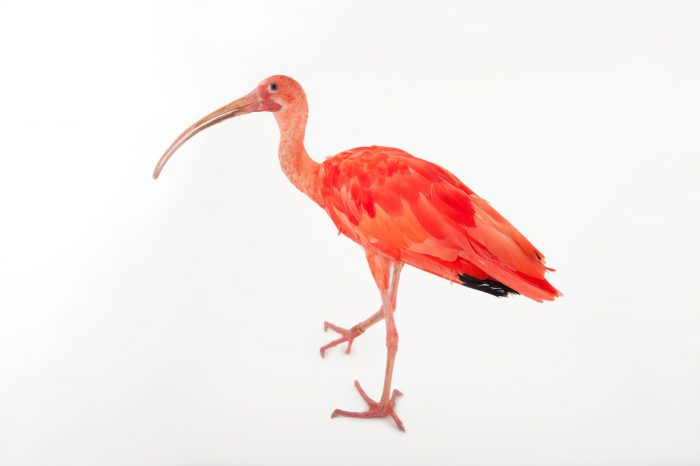 Photo: A scarlet ibis (Eudocimus ruber) at the Miller Park Zoo.