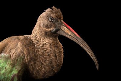 Photo: A hadada ibis (Bostrychia hagedash niloticu) at Berlin Tierpark in Berlin, Germany.