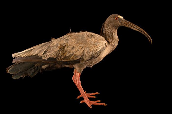 Photo: A plumbeous ibis (Theristicus caerulescens) at Fundacao Jardim Zoologico de Brasilia.