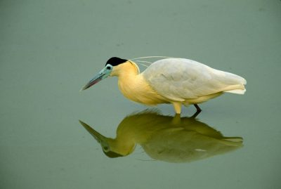 Photo: A capped heron (Pilherodius pileatus) in Brazil's Pantanal region.