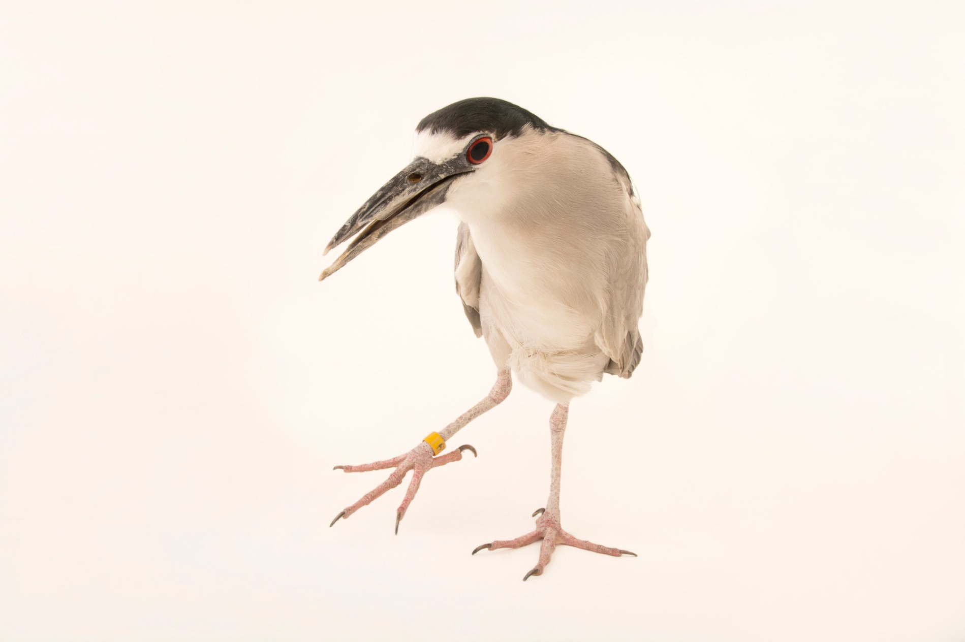 Photo: James bond the black-crowned night heron (Nycticorax nycticorax) at The Living Desert.