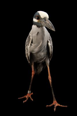 Picture of a yellow-crowned night heron (Nyctanassa violacea) at the Caldwell Zoo in Tyler, Texas.