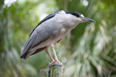 Photo: Wild black-crowned night heron at the Audubon Zoo, New Orleans, Louisiana.