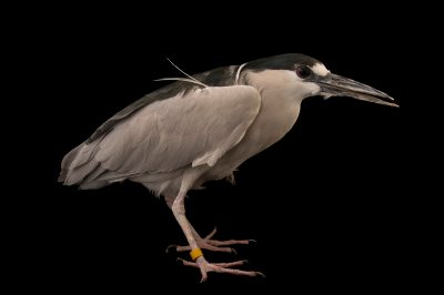 A black-crowned night heron (Nycticorax nycticorax) at The Living Desert in Palm Desert, California. His name is James Bond because his ISIS number is 007.