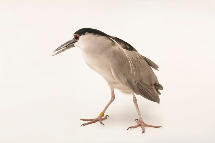 A black-crowned night heron (Nycticorax nycticorax hoactli) at The Living Desert in Palm Desert, California. His name is James Bond because his ISIS number is 007.
