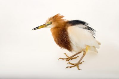 Picture of a Javan pond heron (Ardeola speciosa) at Sylvan Heights Bird Park.