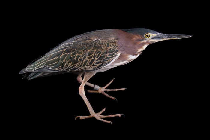 Picture of a green heron (Butorides virescens) at the Saint Louis Zoo.