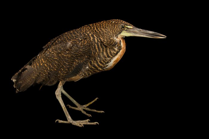Picture of a juvenile bare-throated tiger heron (Tigrisoma mexicanum) at the Nispero Zoo.