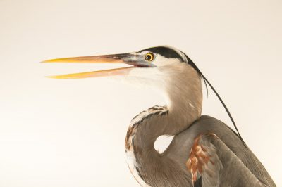 Picture of a great blue heron (Ardea herodias occidentalis) at the National Aviary breeding center.