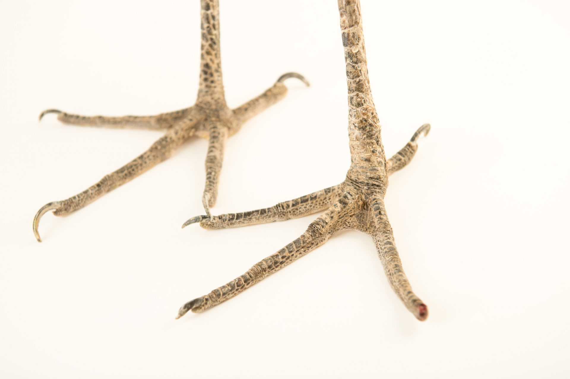Picture of the feet of a great blue heron (Ardea herodias occidentalis) at the National Aviary breeding center.