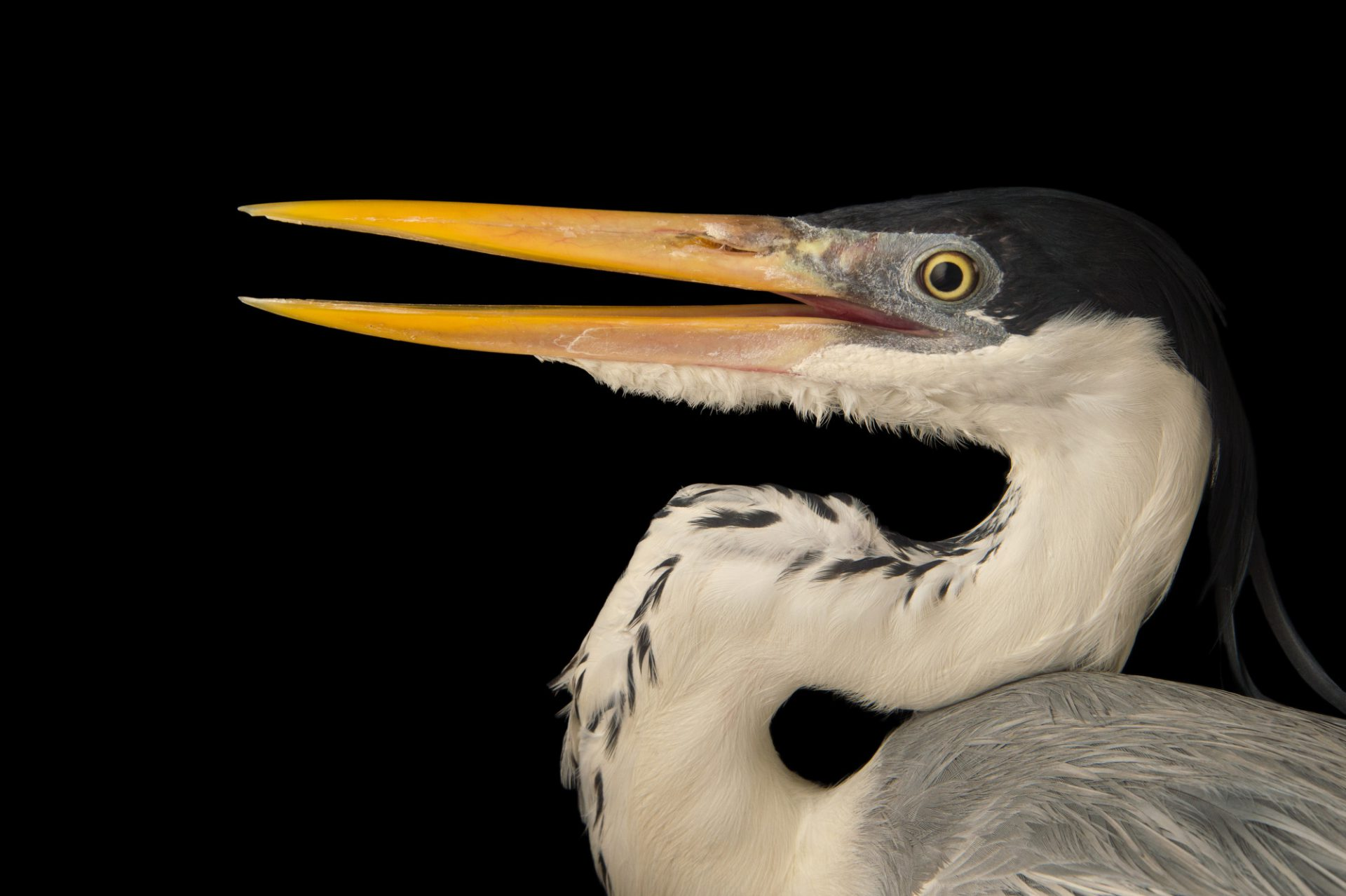 Photo: A cocoi heron (Ardea cocoi) at the National Aviary breeding center.