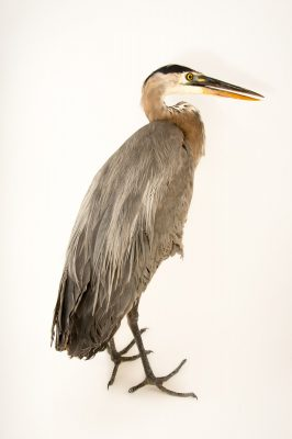 Picture of a great blue heron (Ardea herodias herodias) being cared for by Nebraska Wildlife Rehab.