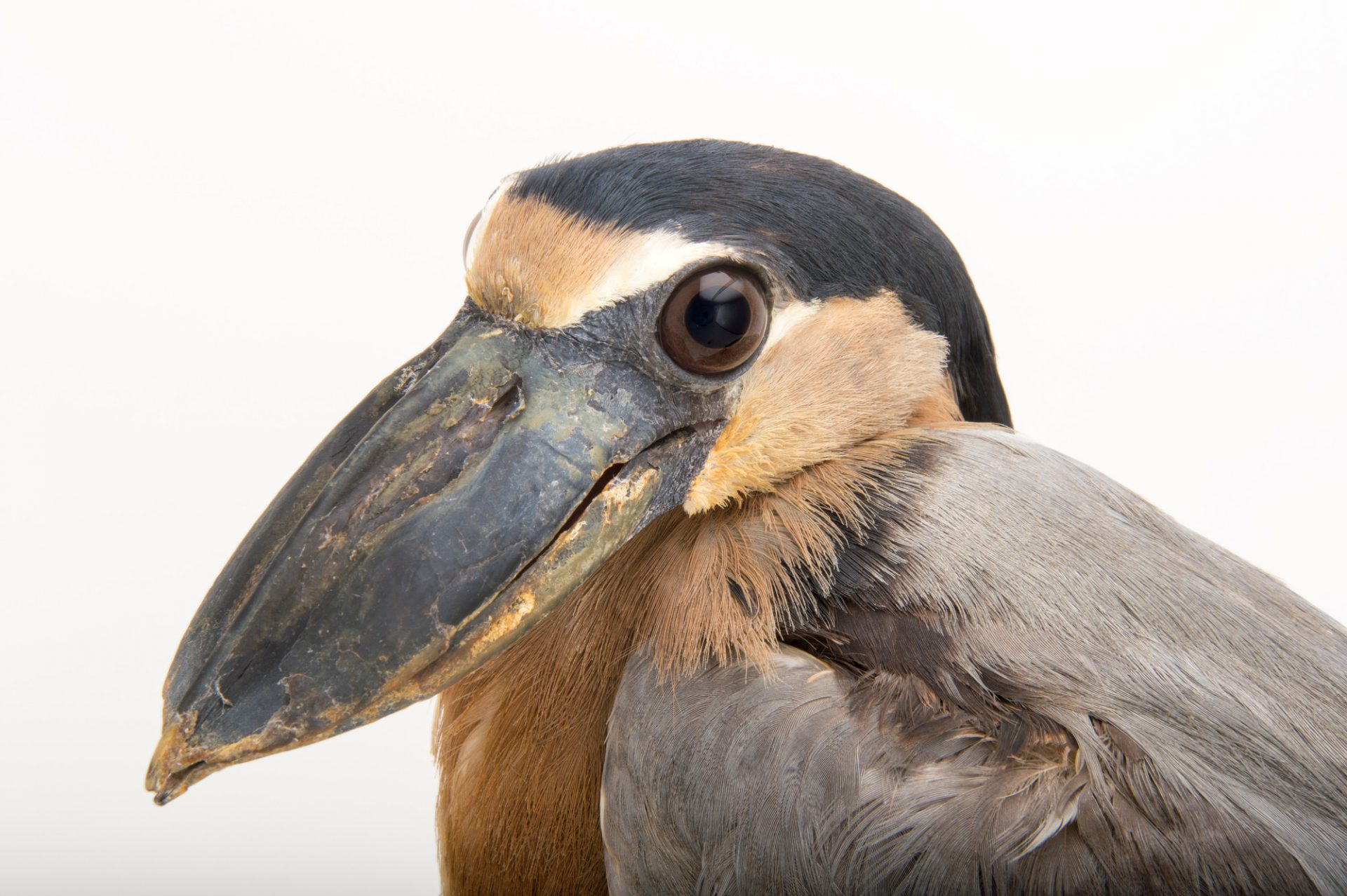 Picture of a boat billed heron (Cochlearius cochlearius ridgwayi) at the Knoxville Zoo.