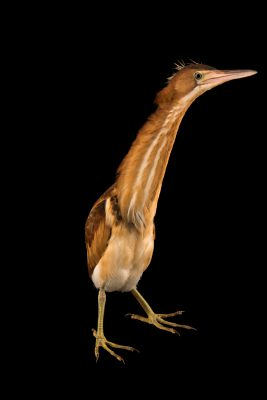 Photo: Least bittern heron (Ixobrychus exilis) at the Wildlife Rehabilitation Center in Roseville, Minnesota.