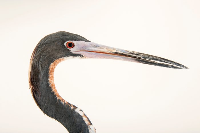 Photo: Louisiana heron (Egretta tricolor) at the National Aviary of Colombia.
