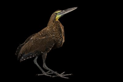 Photo: Bare-throated tiger heron (Tigrisoma mexicanum) at the National Aviary of Colombia.