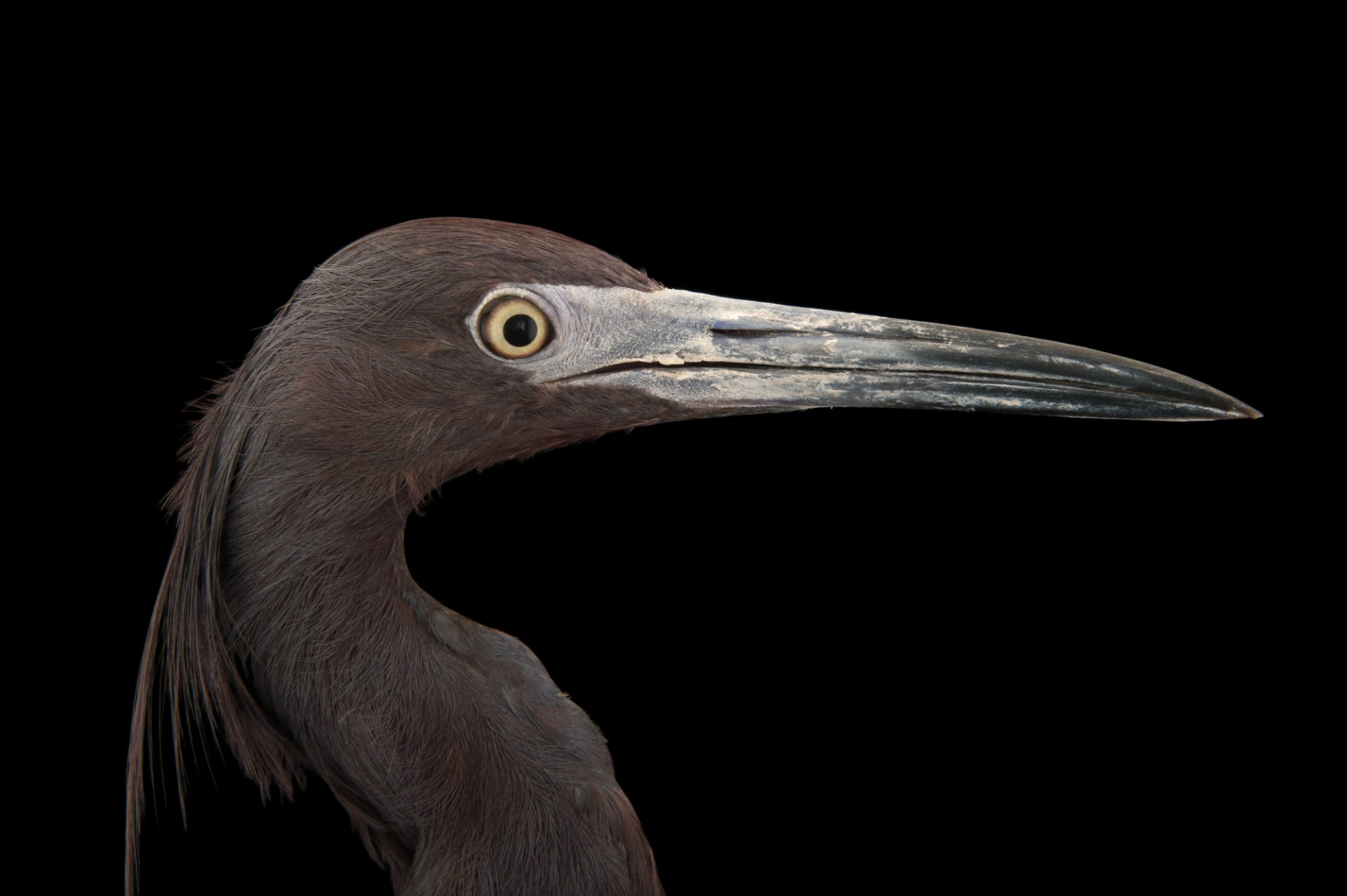 Photo: Little blue heron (Florida caerulea) at the National Aviary of Colombia.
