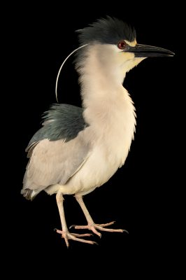 A black-crowned night heron (Nycticorax nycticorax hoactli) at Rogers Wildlife Rehabilitation Center.