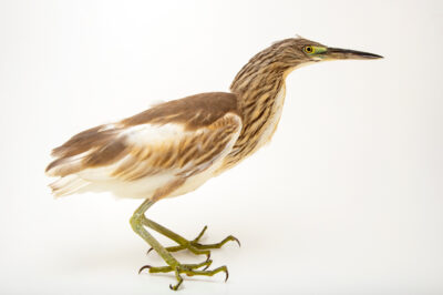 Photo: A squacco heron (Ardeola ralloides) at the Prague Zoo.