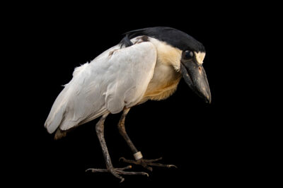 Photo: A boat-billed heron (Cochlearius cochlearius cochlearius) at the Prague Zoo.