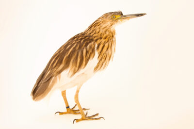 Photo: An endangered Madagascar pond heron (Ardeola idae) at the Plzen Zoo in the Czech Republic.