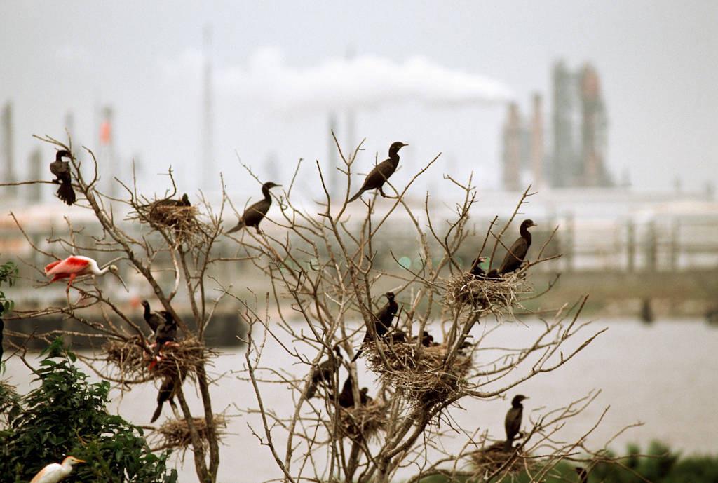 Photo: Cormorants and roseate spoonbills nest near an oil refineryin Houston, Texas.