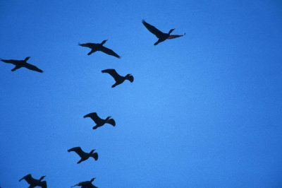 Photo: Cormorants in flight over the Lower Klamath NWR on the Oregon - California border.