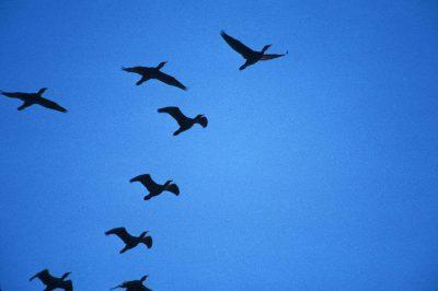 Photo: Cormorants in flight over the Lower Klamath NWR on the Oregon - California border.