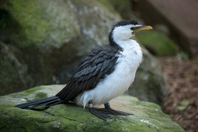 Photo: Little pied cormorant (Microcarbo melanoleucos) at the Taronga Zoo.