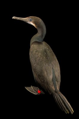 Photo: Brandt's cormorant (Phalacrocorax penicillatus) at International Bird Rescue Center.