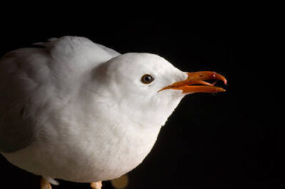 Photo: A silver gull (Larus novaehollandiae) at Reptile Gardens.