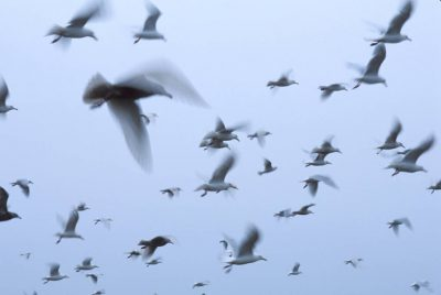 Photo: Gulls flock on Alaska's North Slope near ANWR.