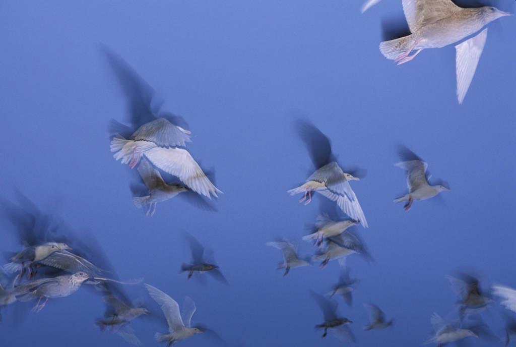 Photo: Gulls flock on Alaska's North Slope near ANWR.