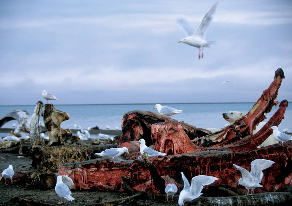 Photo: Gulls feed on a bowhead whale harvested by natives along the coast of ANWR.