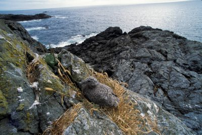 Photo: Seagull nest on a cliff in Clayoquot Sound, British Columbia, Canada.