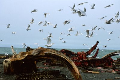 Photo: Gulls feed on the remains of a bowhead whale caught and butchered by Alaska Natives on the North Slope.