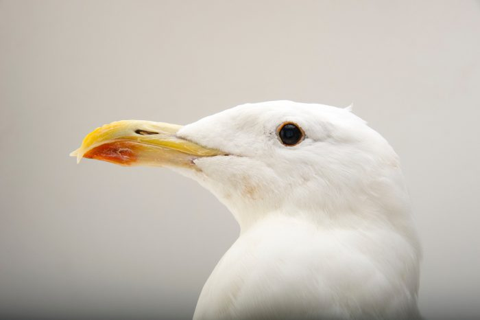 Picture of a kelp gull (Larus dominicanus) at the John Ball Zoo in Grand Rapids, Michigan.