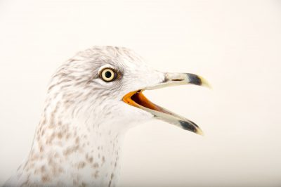 Picture of a ring-billed gull, Larus delawarensis, in non-breeding plumage at Sylvan Heights Bird Park.