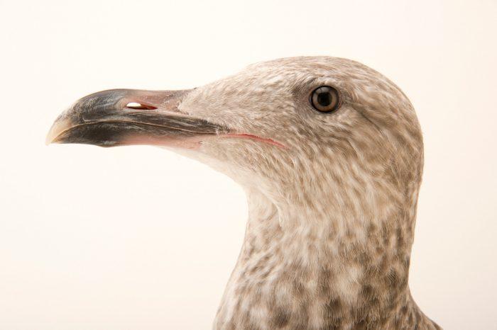 Picture of a European herring gull (Larus argentatus) in third year plumage at the Virginia Aquarium.
