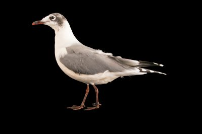 Picture of a Franklin's gull (Leucophaeus pipixcan) at Tracy Aviary.