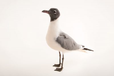 Picture of a laughing gull in breeding plumage (Leucophaeus atricilla) at the National Aviary of Colombia.