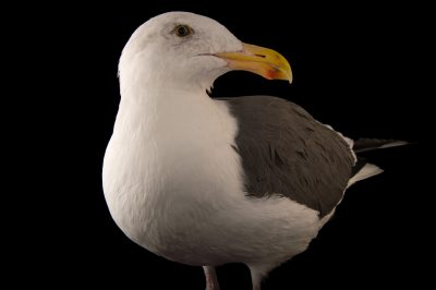 Picture of a Western gull (Larus occidentalis) at the Santa Barbara Wildlife Care Network.