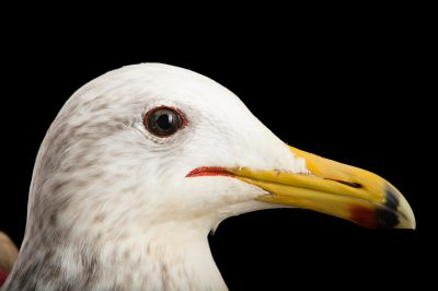 Picture of an oiled California gull (Larus californicus) at the Santa Barbara Wildlife Care Network.