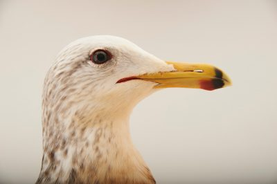 Picture of an oiled California gull (Larus californicus) with a broken wing in a splint at the Santa Barbara Wildlife Care Network.