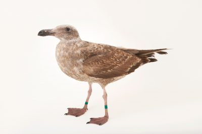 Picture of a juvenile glaucous-winged gull/western gull hybrid (Larus glaucescens x Larus occidentalis) at the Santa Barbara Wildlife Care Network.