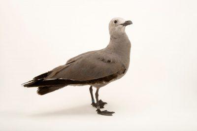 Photo: Grey gull (Leucophaeus modestus) at the Sedgwick County Zoo.