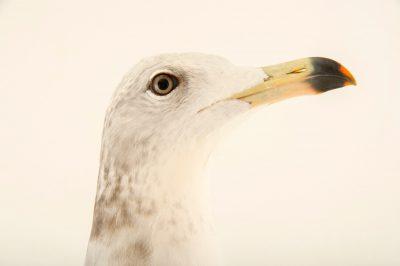 Photo: A Japanese gull, Larus crassirostris, at the Plzen, Czech Republic.