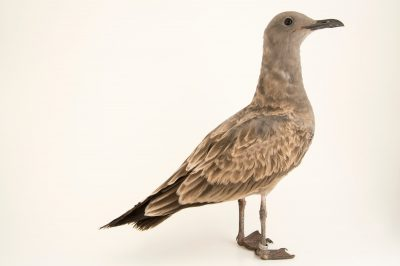 Photo: A juvenile grey gull, Larus modestus, at the Plzen Zoo.